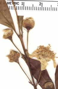 Campomanesia adamantium image