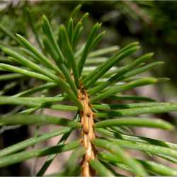 Image of Picea pungens