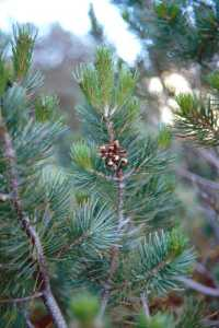 Image of Pinus cembroides