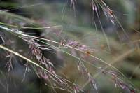 Image of Muhlenbergia arsenei