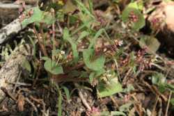 Image of Claytonia parviflora