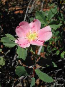 Image of Rosa woodsii