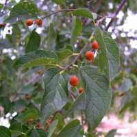 Image of Celtis reticulata