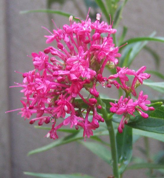 Centranthus image