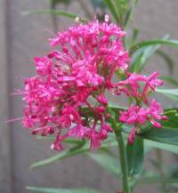 Image of Centranthus ruber