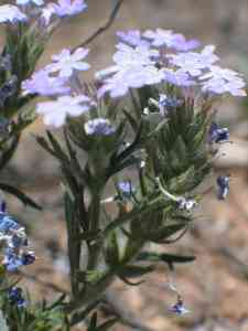 Image of Verbena bipinnatifida
