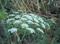 Image of Ammi majus