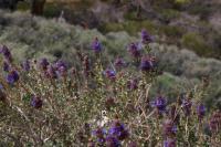 Image of Salvia dorrii