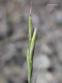 Image of Festuca idahoensis