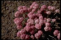 Image of Eriogonum ovalifolium