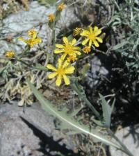 Image of Crepis intermedia