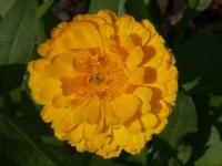 Image of Calendula officinalis