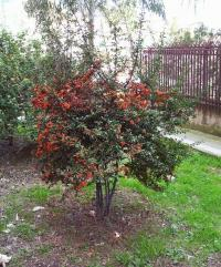 Pyracantha coccinea image