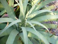 Image of Agave bracteosa