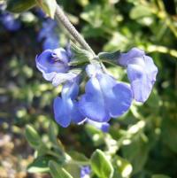 Image of Salvia chamaedryoides