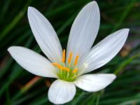 Image of Zephyranthes candida