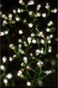 Image of Baccharis angustifolia