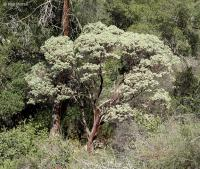 Image of Arctostaphylos glauca