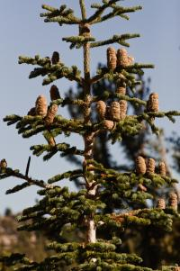 Image of Abies magnifica