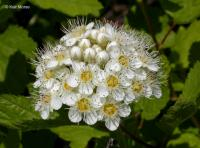 Image of Physocarpus capitatus