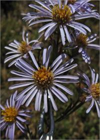 Image of Symphyotrichum chilense