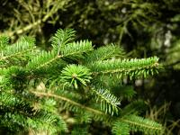 Image of Abies homolepis