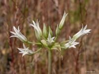Image of Allium bolanderi