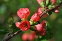 Image of Chaenomeles x superba