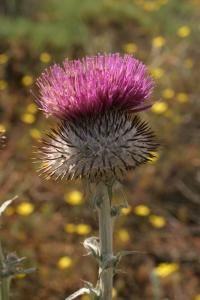 Image of Cirsium coulteri