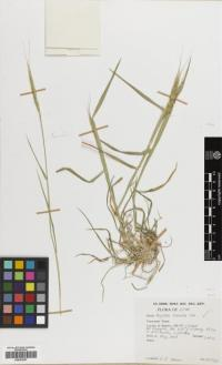 Image of Aegilops tauschii