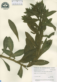 Image of Euphorbia aristata