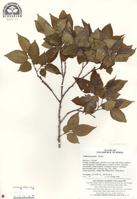 Image of Celtis jessoensis