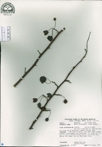 Image of Malus toringoides