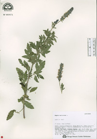 Image of Nepeta multifida