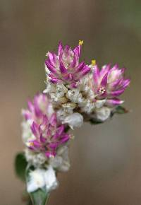 Image of Gomphrena sonorae