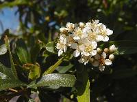 Image of Pyracantha fortuneana
