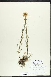 Image of Argyranthemum pinnatifidum