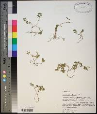 Desmodium triflorum image