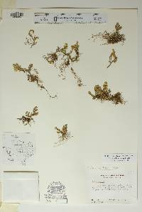 Selaginella arizonica image