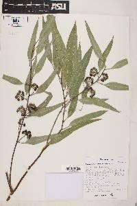 Eucalyptus camaldulensis image