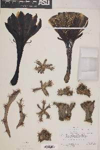 Cereus peruvianus image