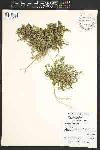 Image of Minuartia micrantha