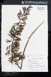 Image of Aechmea fendleri