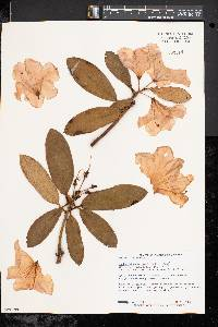 Rhododendron fortunei image