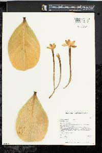 Image of Brighamia insignis