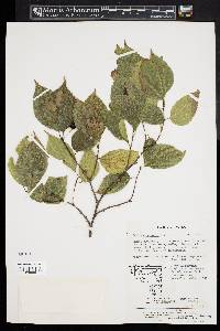 Image of Celtis choseniana