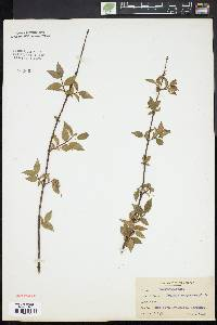 Image of Deutzia corymbosa