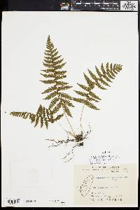 Image of Thelypteris gracilescens