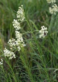 Image of Asclepias verticillata