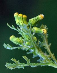 Image of Senecio vulgaris